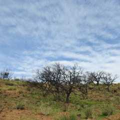Damaged almond trees