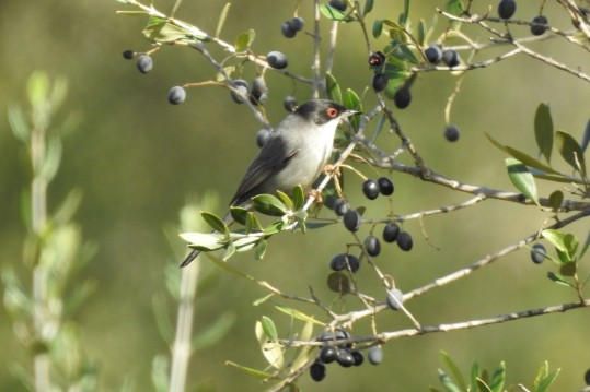 Sardinian Warbler feasting on loves
