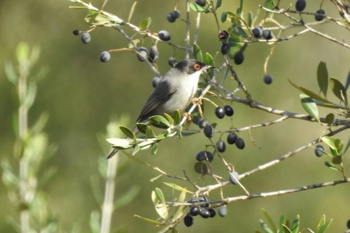 Sardinian Warbler feasting on loves