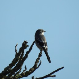 In case you couldn't spot the Shrike