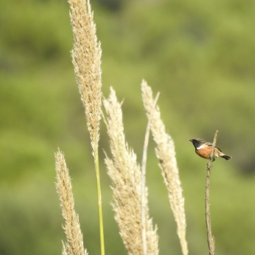 Stonechat (male)