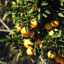 Oranges, just coming into season
