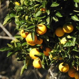 Oranges, just coming into season