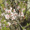 Almond Blossom up close