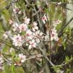 Almond Blossom up close