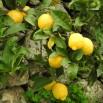 Lemons in the tree