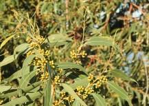 The invasive eucalyptus