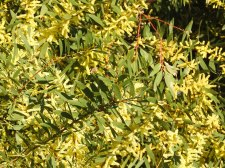 Acacia - probably White Sallow
