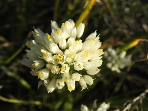 Allium close up