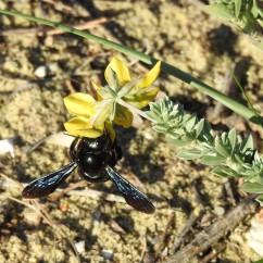 Carpenter Bee on a genista