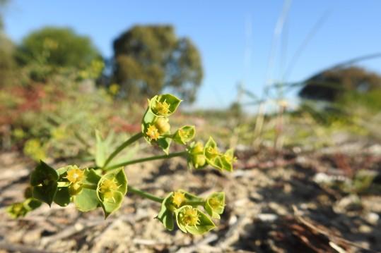 Geraldton carnation weed