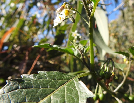 Black Nightshade - I think!