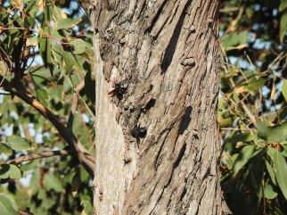 Carpenter bees on the Swamp Mahogany