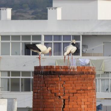 Storks - no nest