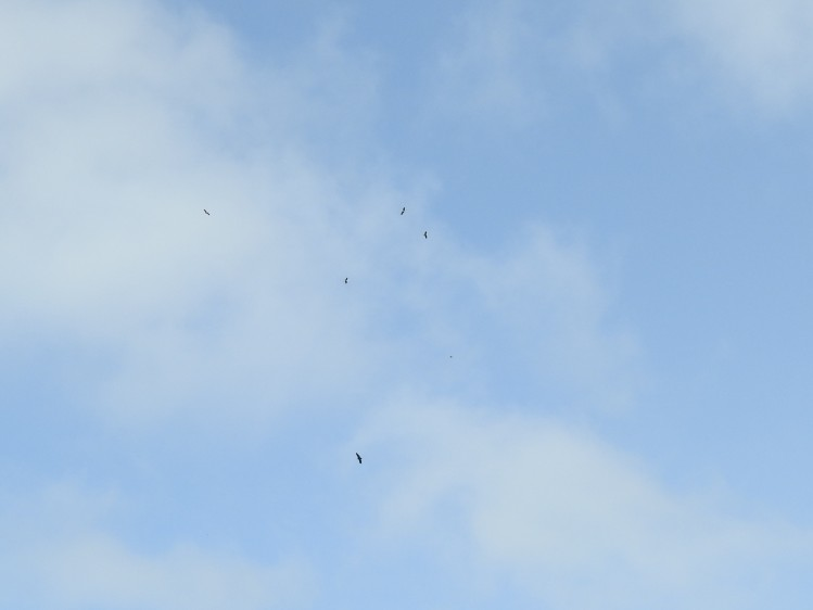 Storks and one vulture!