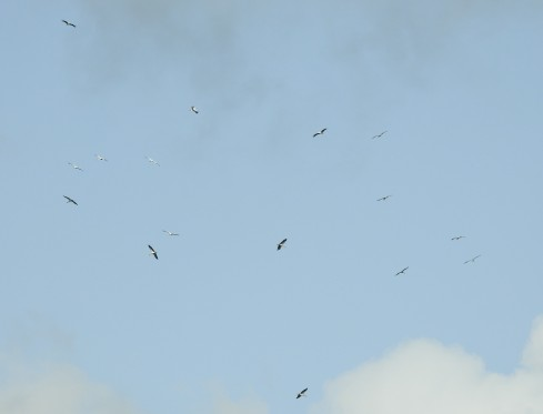Kettle of storks