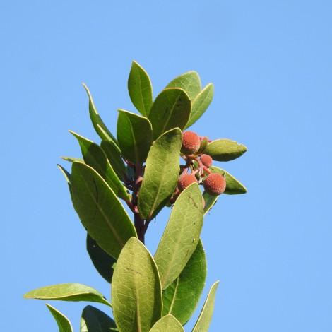 Strawberry Tree - more common in high barrocal and serra