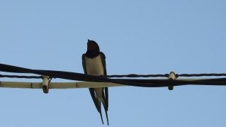 Barn Swallow in the shadoes