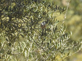 Iberian Long Tailed Tit