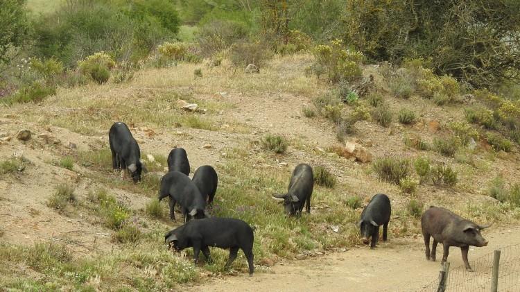 Roaming pigs