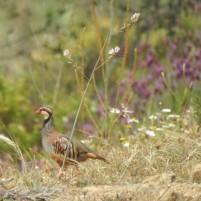 Partridge!
