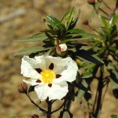 Gum Rock Rose