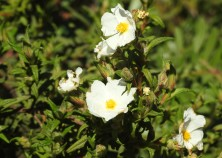 Narrow leaved rock rose