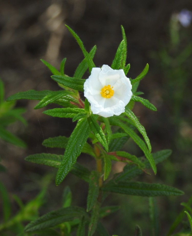 young narrow leaved