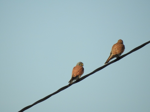 Mr and Mrs - Common Kestrel