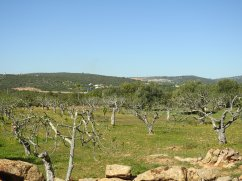 Fig orchard with motorway beyond