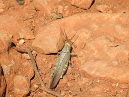 Even enormous grasshoppers are struggling