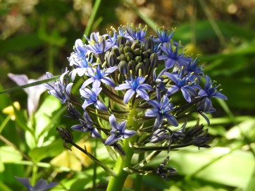 Portuguese Squill - gorgeous in the undergrowth