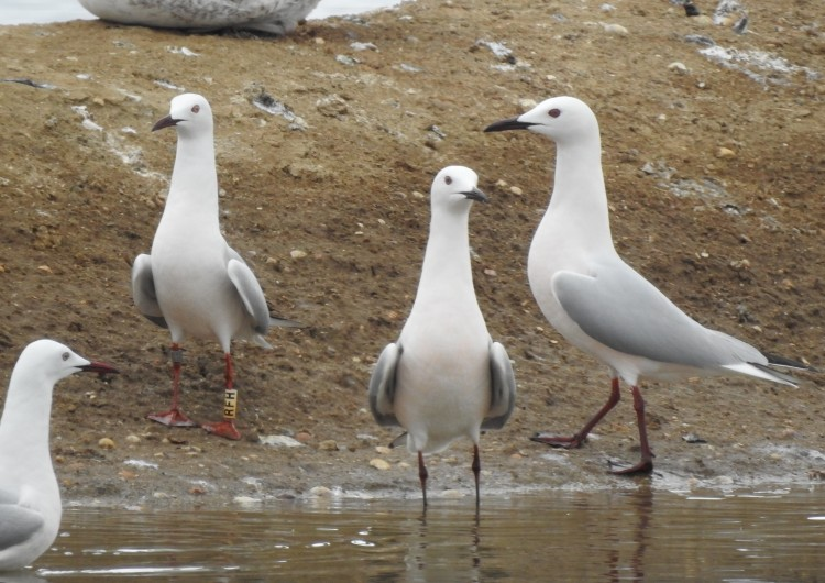 Slender Billed Gulls