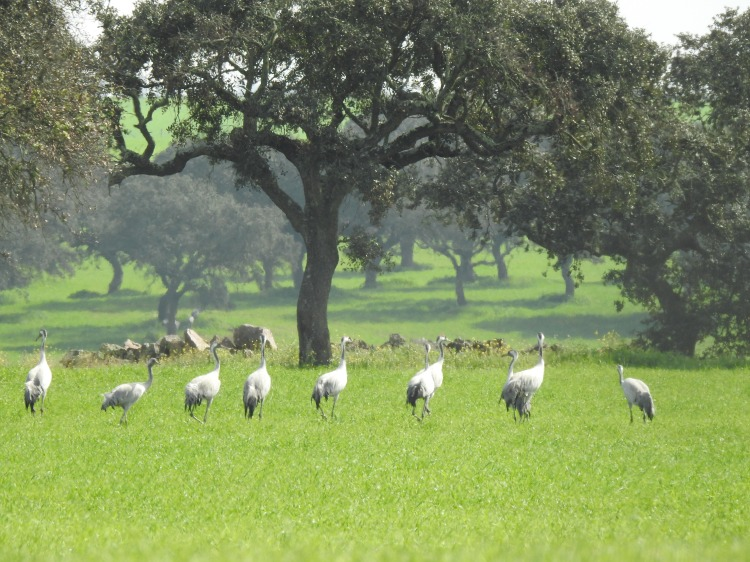 Common Cranes in Alentejo