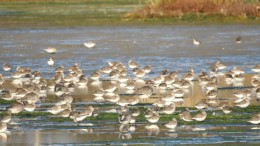 Grey Plovers and Dunlins