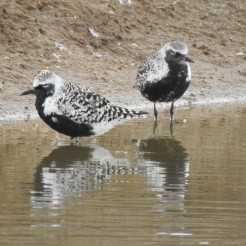 Grey Plovers in breeding plumage