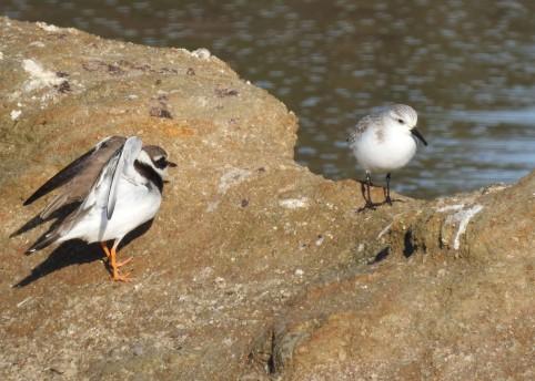 Ringed Plover & Sanderling