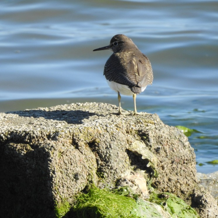 Common Sandpiper in sunlight