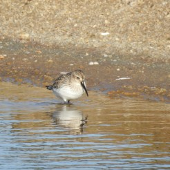 Dunlin in daylight