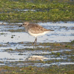 Grey Plover in winter