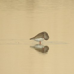 Redshank in lowlight